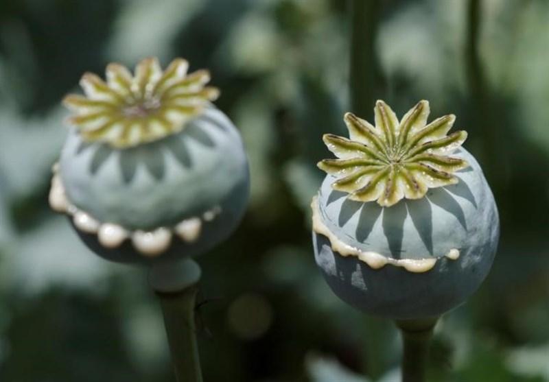 کشف بزرگترین محموله بذر ماده مخدر گل توسط ماموران گمرک