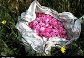 برداشت گل محمدی - کاشان