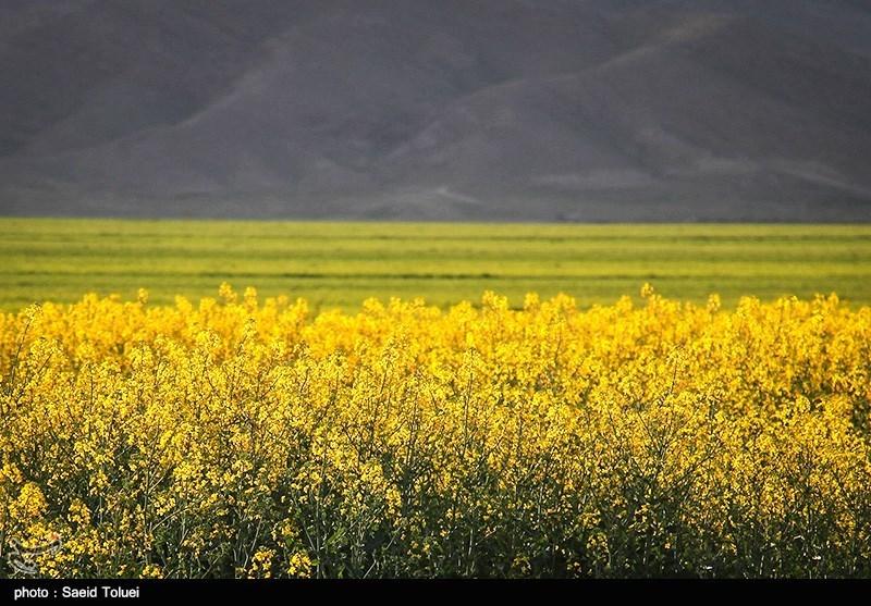 بیش از 11 هزار تن محصول کلزا در استان گلستان خریداری شد