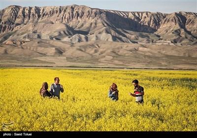مزارع کلزا در خراسان شمالی