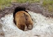 مرگ یک دامدار اندیکایی به دنبال نزدیک شدن به لانه خرس