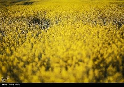 شمالی خراسان میں سرسوں کے لہلہاتے کھیت