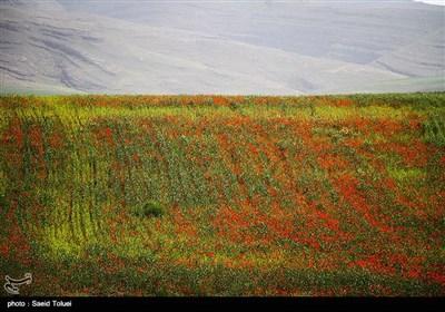دشت شقایق - خراسان شمالی