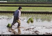 نشا برنج در گیلان