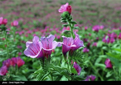 Farmers Harvest Echium Amoenum in Northern Iran