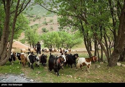 ایران کے صوبہ لرستان کے خانہ بدوشوں کی زندگی