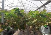 6760 هکتار گلخانه در سراسر کشور ایجاد میشود