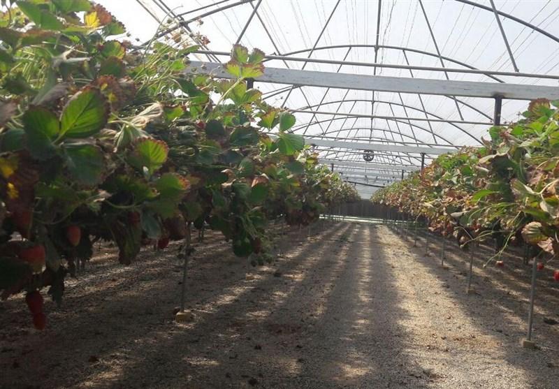 گلخانهای با 30 میلیون درآمد در ماه/خوب شد کارمند نشدم!