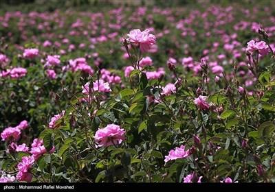 ایران کے شہر کاشان میں گلاب چننے کا موسم