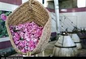 «گلاب»؛ کالای شگفتانگیز صادراتی ایران در قرن هفدهم/ تاریخچه گلابگیری