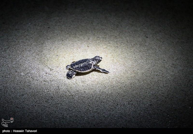 مشاهده گونهای خاص از لاکپشت آسیایی در شهرستان البرز