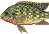 ماهی تیلاپیلا