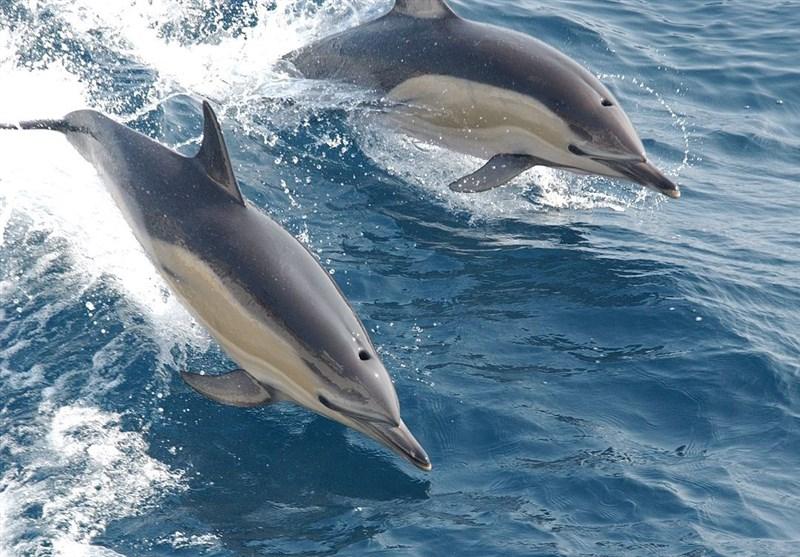 طرح پراکنش جمعیت دلفینهای گوژپشت در پارک ملی دریایی دیر نخیلو اجرا شد