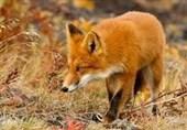 زندگی روباه در دست سنگ قبرهای گورستان +عکس
