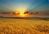 عرضه گندم در بورس کالا به نفع کشاورزان است