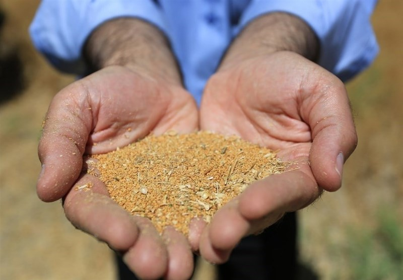 Iran's Seed Production Tops 6,000 Tons: Deputy Minister