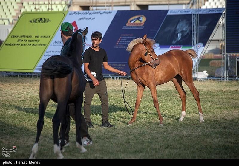 جشنواره زیبایی اسب اصیل در کرمانشاه