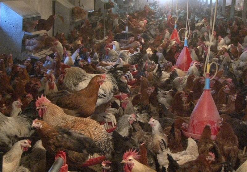 مرغ داری