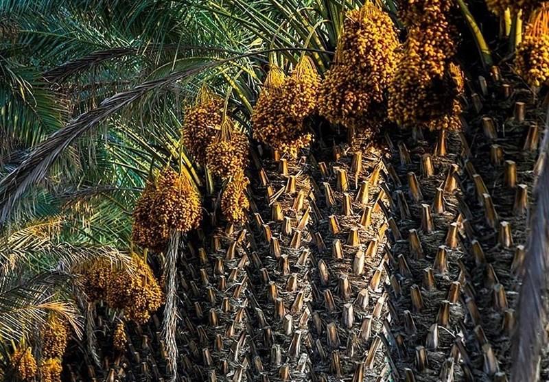 زنجیره بازاریابی و فرآوری محصولات خوشه صنعتی خرما در استان بوشهر تکمیل شود