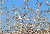 آغاز نسلکشی پرندگان مهاجر در تالابهای خوزستان!