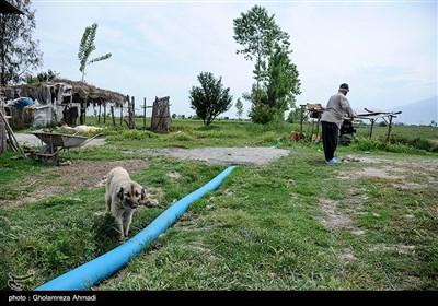 شالیکاری در شرق مازندران