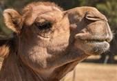شتر، موجود بیرقیب در بیابان + عکس