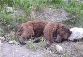 خرس قهوهای کشفشده در آمل با اسلحه شکاری کشته شده است