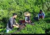 صندوق حمایت از صنعت چای تاکنون 11 میلیارد تومان تسهیلات کم بهره پرداخت کرد