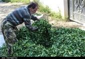 85 درصد چای مصرفی در کشور وارداتی است