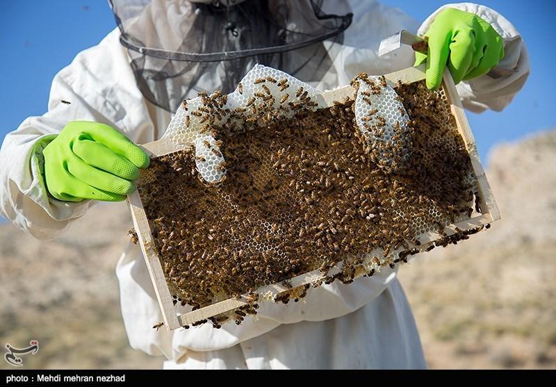 تولید عسل در جم