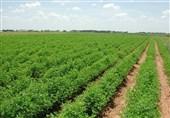 کشاورزان بروجرد موظف به رعایت الگوی کشت در اراضی کشاورزی شدند