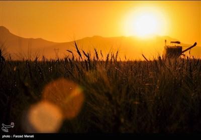 برداشت گندم در کرمانشاه