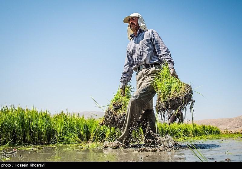 کشت برنج در سایه خشکسالی - فارس