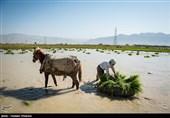چین در آب شور برنج کاشت