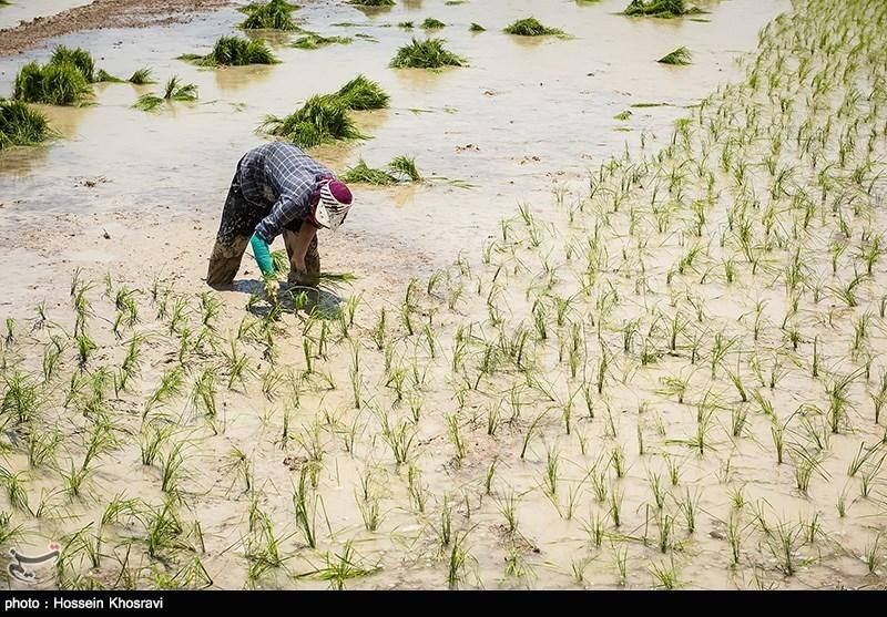 اصلاح الگوی کشت برنج در سطح استان اصفهان؛ از پسابهای تصفیه شده در بیابان زدایی استفاده میشود