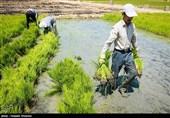 کشت برنج در 17 استان کشور/ جهاد کشاورزی: نمیتوانیم شالیزارها را قلع و قمع کنیم
