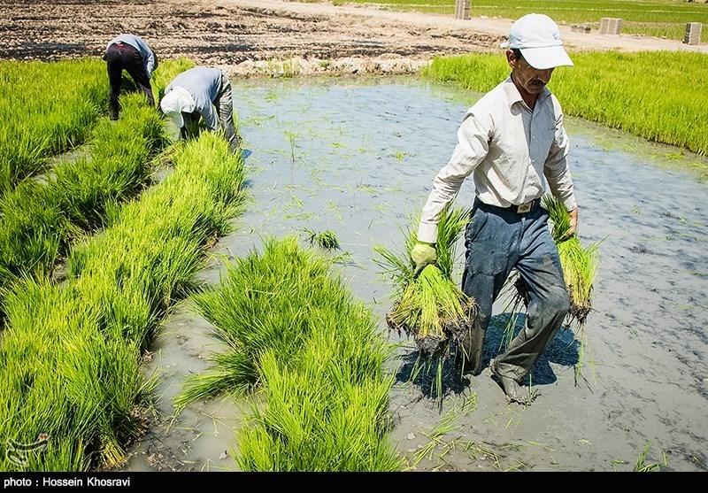 تولید برنج در خوزستان به 970 هزار تن رسید