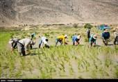 ممنوعیت کشت برنج به شرط موافقت شورای آب هر استان لغو شد