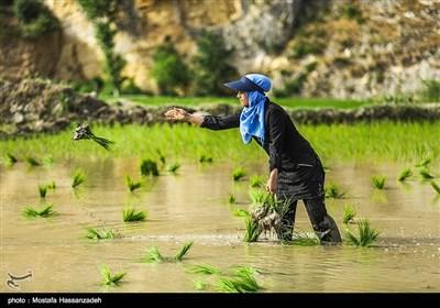 نشا برنج در گلستان
