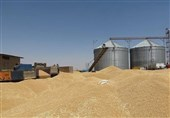 215 هزار تن گندم از کشاورزان همدان خریداری شد