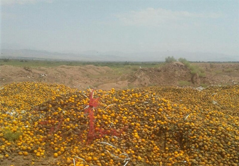 ماجرای دهها تن پرتقال فاسد در مرند - 10
