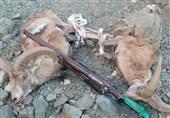 2 لاشه حیوان وحشی کل و قوچ از شکارچیان متخلف در کاشان کشف شد/ صدور حکم قضایی دستگیری 5 شکارچی متخلف