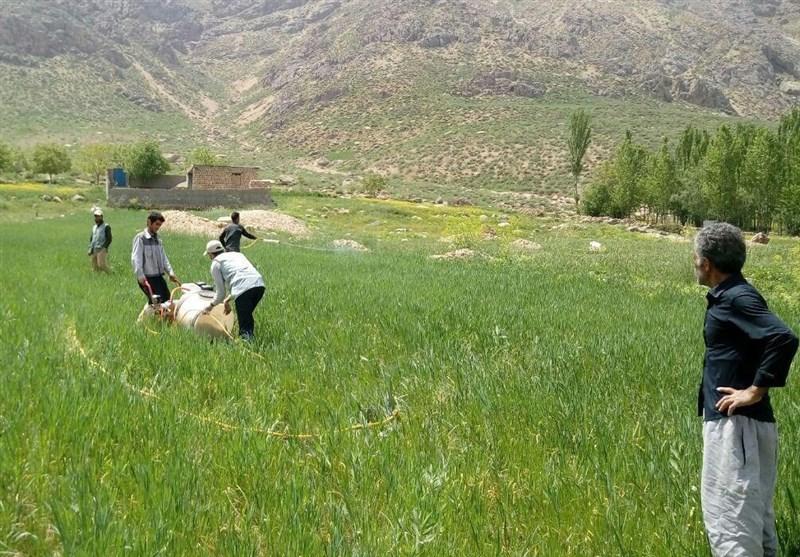 کشاورزان همدانی نگران ملخ های صحرایی و دریایی نباشند