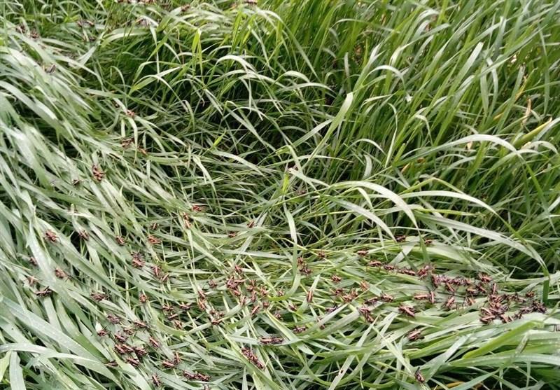 خسارت سنگین حمله ملخها به مزارع کوهرنگ/سردرگمی مسئولان در مهار آفت
