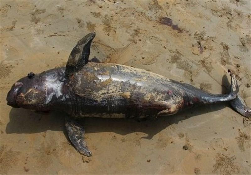 2 پستاندار دریایی در معرض انقراض در ساحل کنارک به گل نشستند