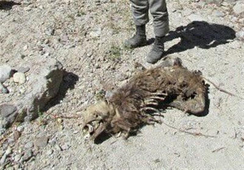 کشف لاشه یک خرس قهوهای در معدنی متروکه در استان زنجان