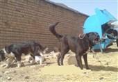 سگهای ولگرد تهدیدی برای مردم استان یزد؛ قاتل «نسیم» گرگ نبود
