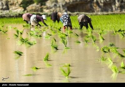 ایران کے صوبہ گلستان میں چاول کی کاشت