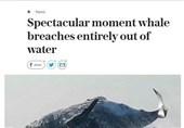 حرکات نادر نهنگ 40 تنی+فیلم و عکس