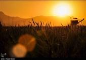 بیش از 22 هزار هکتار گندم در اراضی گنبدکاووس کشت شد